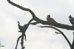 Darter and Egyptian Goose in Tree | Kruger National Park