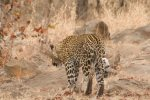 First Sight of Leopard Close to Road. | Kruger National Park