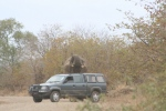 Elephant Now Very Angry and Stressed | Kruger National Park