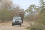 Elephant Continues Chase | Kruger National Park