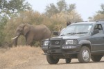 Elephant Being Annoyed by Visitor. Man Out of Car | Kruger National Park