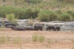 Hippos on the Banks of The Olifants River | Kruger National Park