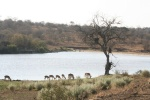 Impala Drinking Close to Piet Grobler Dam Wall | Kruger National Park