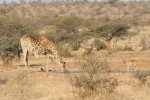 Giraffe Drinking at Roodewal | Kruger National Park