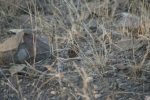 Sand Grouse Series … Chick at Left | Kruger National Park