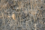 Sand Grouse Series … Chick at Centre | Kruger National Park