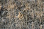 Sand Grouse Series … Chick Creeping Under Mom | Kruger National Park