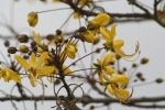 Beautiful Cassia Blossom  | Kruger National Park