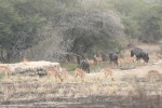 Zebra and Wildebees and Impala | Kruger National Park