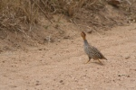 Male Coqui Francolin or Spurfowl | Kruger National Park