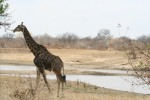 Dark Male Giraffe at Pan | Kruger National Park
