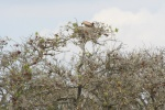 Vulture Nest In Sausage Tree | Kruger National Park
