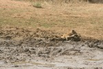 Young Lion Relaxing in Mud | Kruger National Park