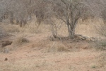 Let Sleeping Lions Lie | Kruger National Park