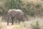 Elephant Digs for Water | Kruger National Park