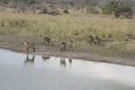 Gathering of Waterbuck | Kruger National Park