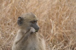 Young Baboon Eating Grass | Kruger National Park