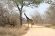 Giraffe Grazing Close To Mpondo Dam | Kruger National Park