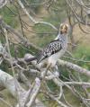 Southern Yellow Billed Hornbill Kruger Park