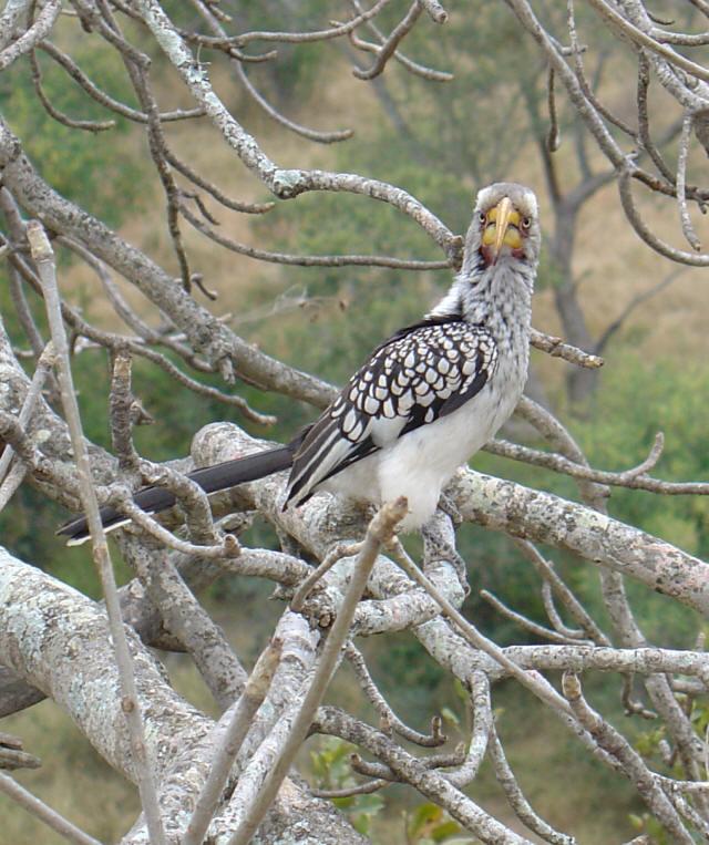 african animals of grey hornbill bird photos