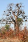 Red billed weavers nesting in Baobab Kruger Natrional Park