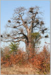 Baobabs nests and colours
