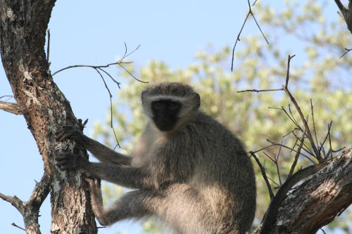 Kruger National Park Primates
