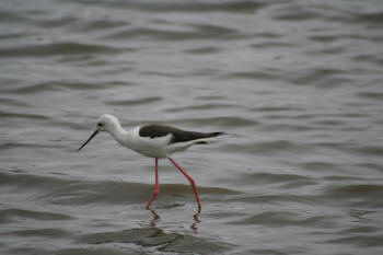 Kruger Park Black Winged Stilt