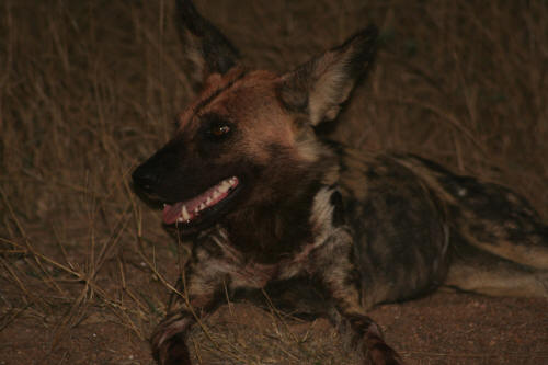 Kruger Park Wild Dog close to Berg En Dal