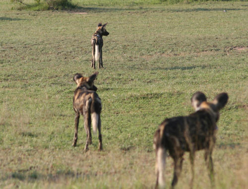 Phabeni Wild Dog pack on the hunt
