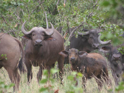 KNP Buffalo, mother and calf