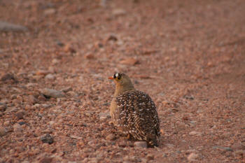 Kruger Park Double Banded Sandgrouse