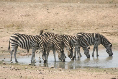 Burchell's Zebra drinking in the kruger national park