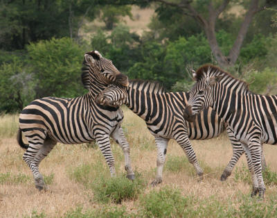 Interesting Burchells Zebra photograph