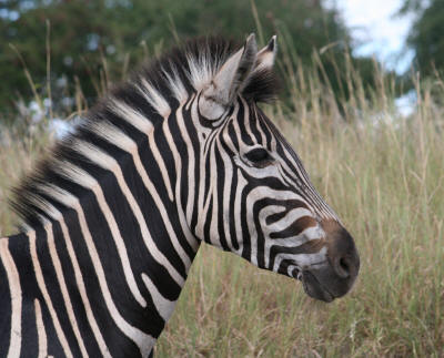 Kruger Park Burchells Zebra close up