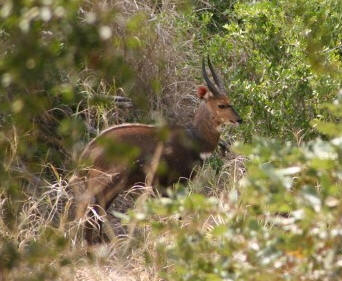 male ram bushbuck in thicket