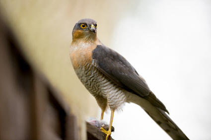 Little Sparrowhawk Kruger Park
