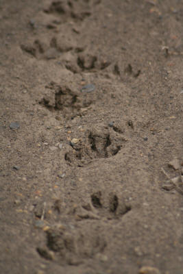 Cape Clawless Otter tracks in the kruger national park