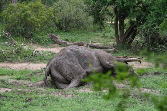 African Elephant Taking a mud bath at gardenia hide