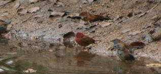 Jamesons Firefinch Kruger Park