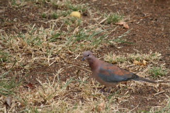 Laughing Dove Kruger Park