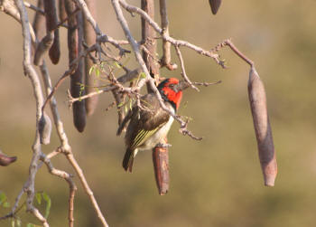 Kruger Park Black Collared Barbet