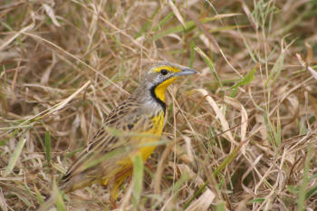 Kruger Park Yellow Throated Longclaw