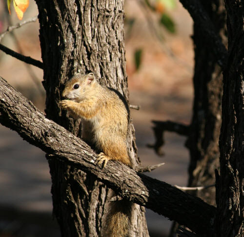 Southern Tree Squirrel Mopani Kruger Park
