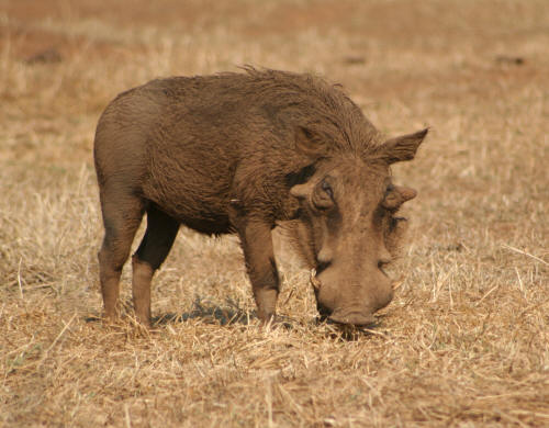 Male Kruger Park Common Warthog