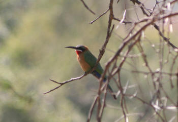 White Fronted Bee Eater Kruger Park
