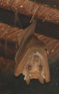 Fruit Bats in Biyamiti Camp