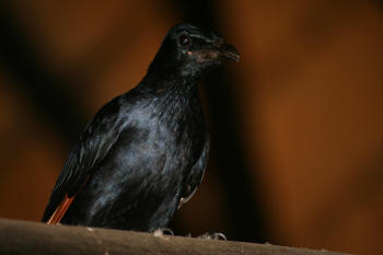 Kruger Park Red Winged Starling