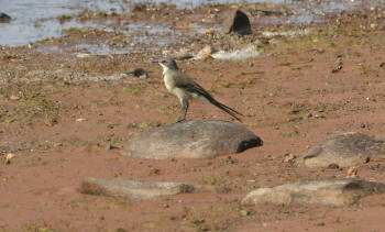 Kruger Park Cape Wagtail