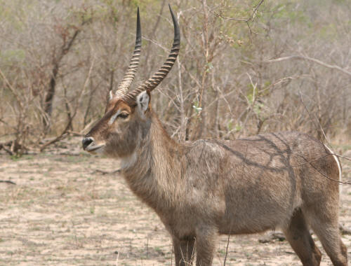 Male Kruger National Park Waterbuck
